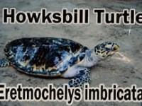 howksbill