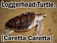 loggerehead