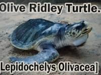 oliveridley